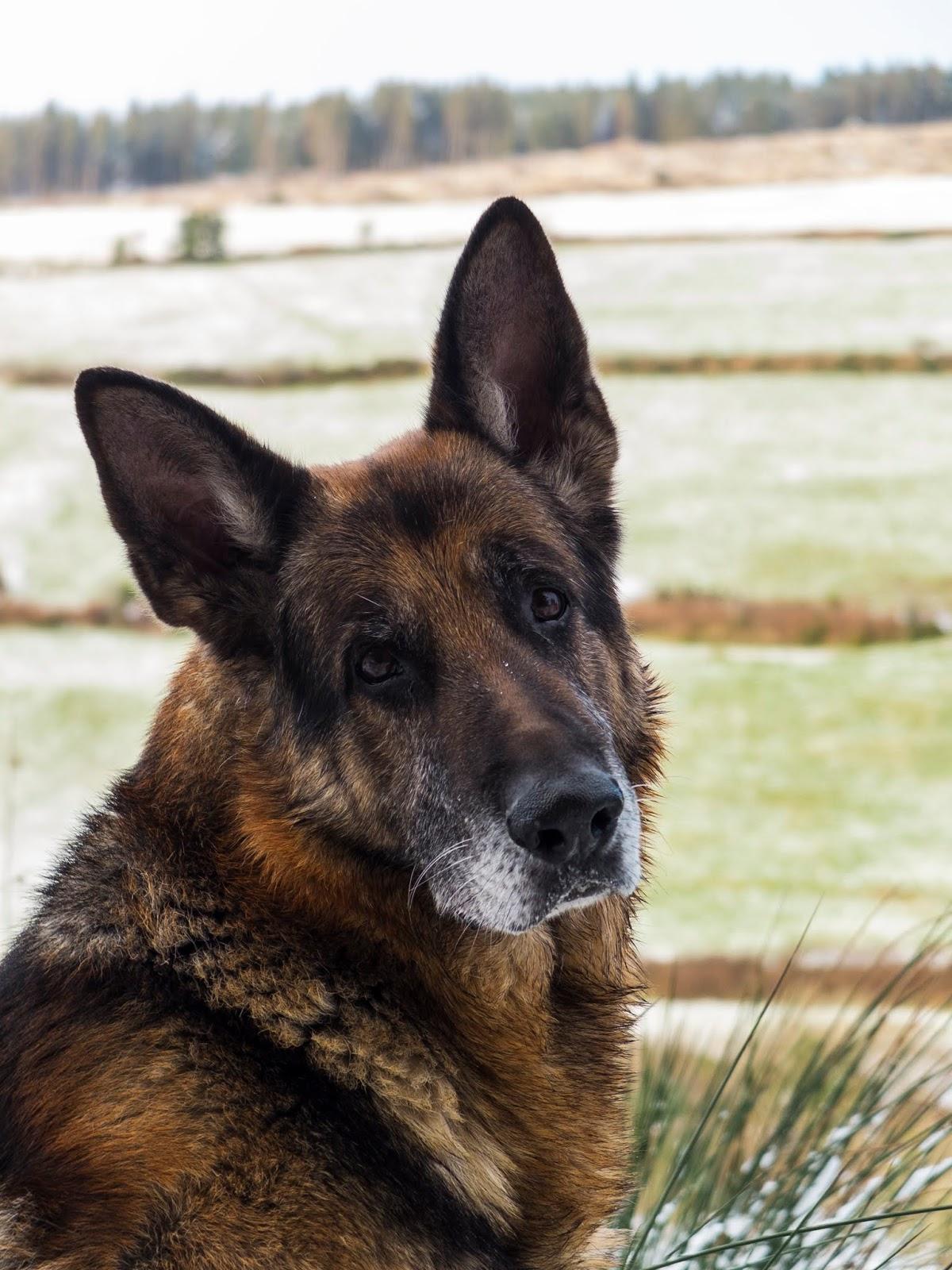 A portrait of a German Shepherd Steve sitting on a snowy hillside.