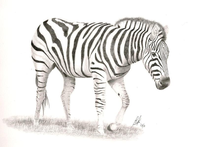 Baby Zebra Pencil Drawing