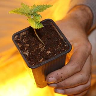 plantula cannabis