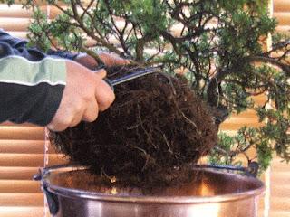 how to repotting bonsai
