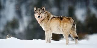 Scientific Name of Wolf  Bhediyaa ka vaigyanik name