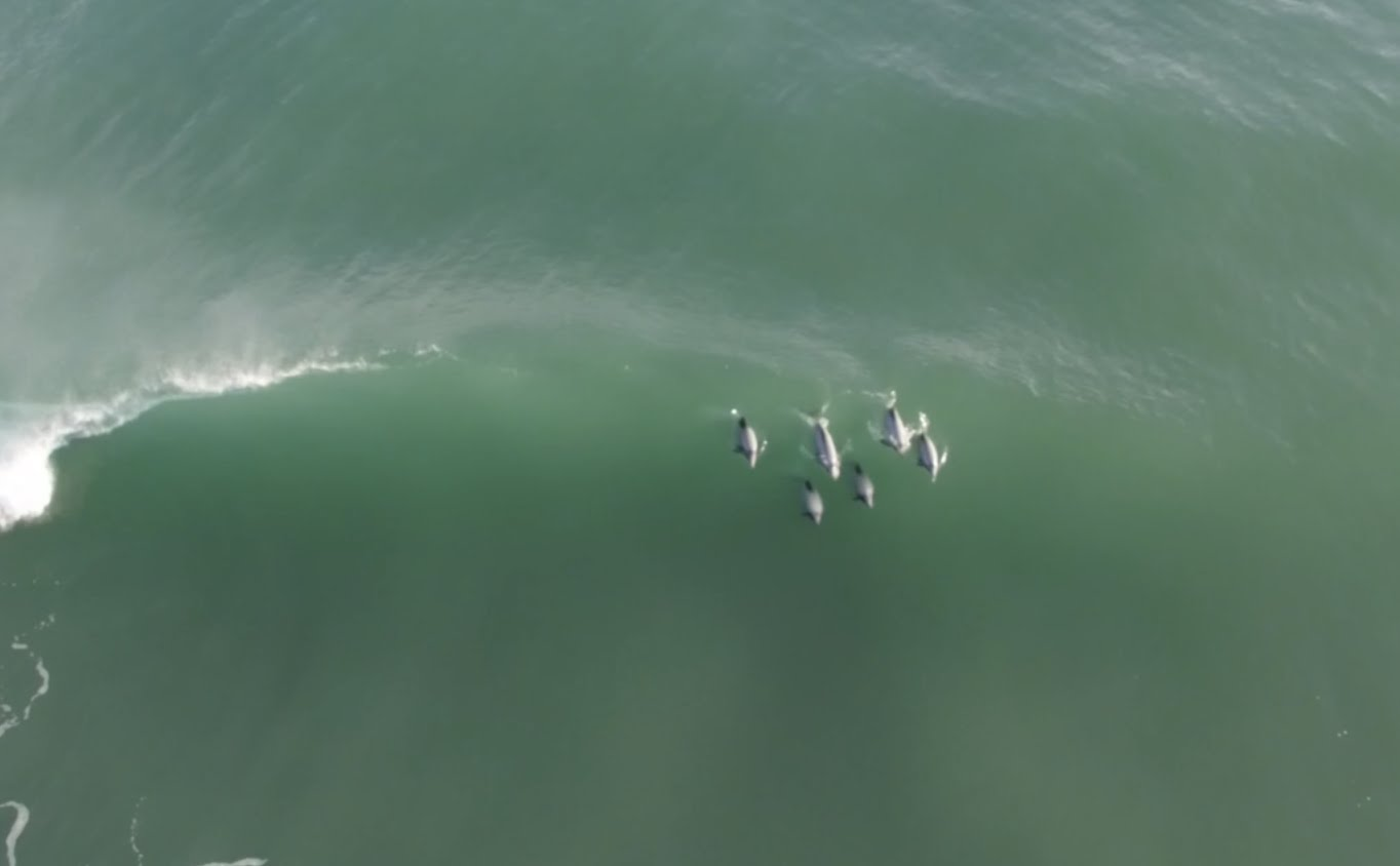 Hector s dolphins surfing every wave of a five wave set