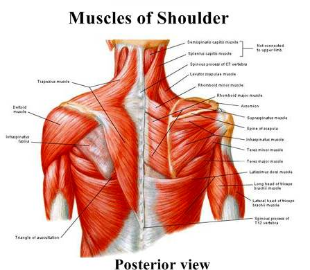 Muscles of soulder