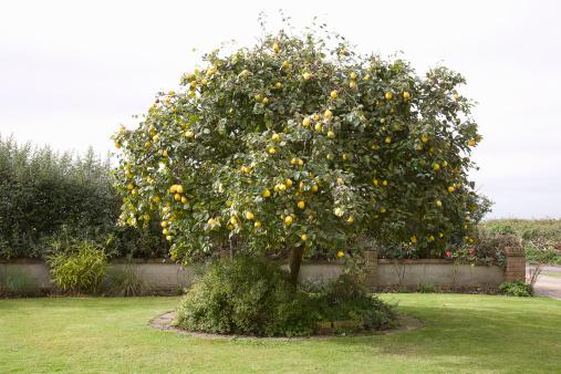 El especiero de patricia dulce de membrillo - Arbol de membrillo ...