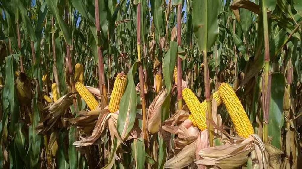 Lignée et variété de maïs