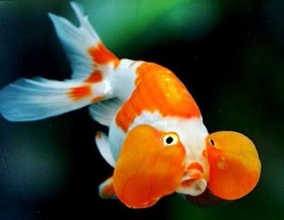 Gambar Ikan Mas Koki Termahal Bubble Eye