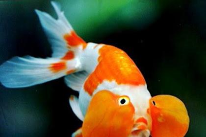 Inilah Ikan Mas Koki Termahal, Apakah Kamu Sudah Memilikinya?