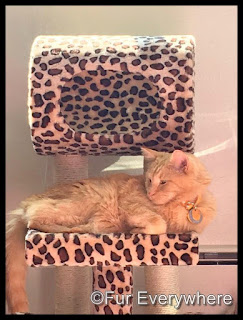 Carmine loves hanging out in his leopard cat tree in sun puddles.