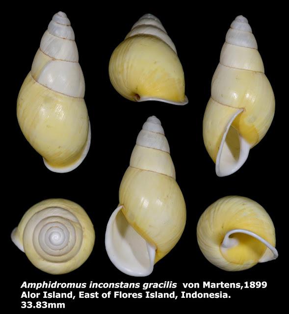 Amphidromus inconstans gracilis 33.83mm