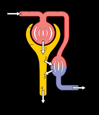 Mekanisme fisiologi nefron