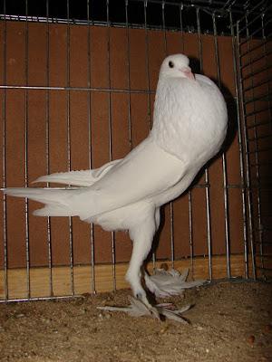 pigeons - cropper - breast - breed - britain pigeons - uk pigeons