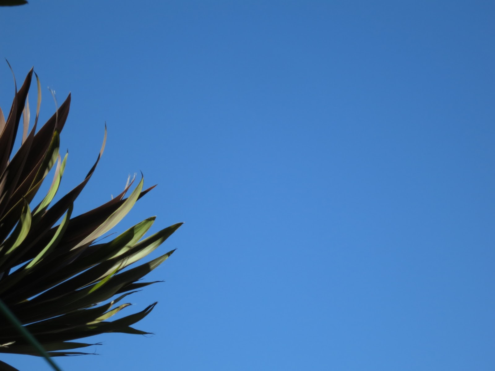 Brown cordyline tree. Blue sky. Windy day.