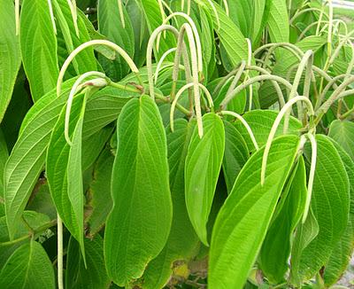 ¿Cuál es la hierba en la medicina a base de hierbas que la erección
