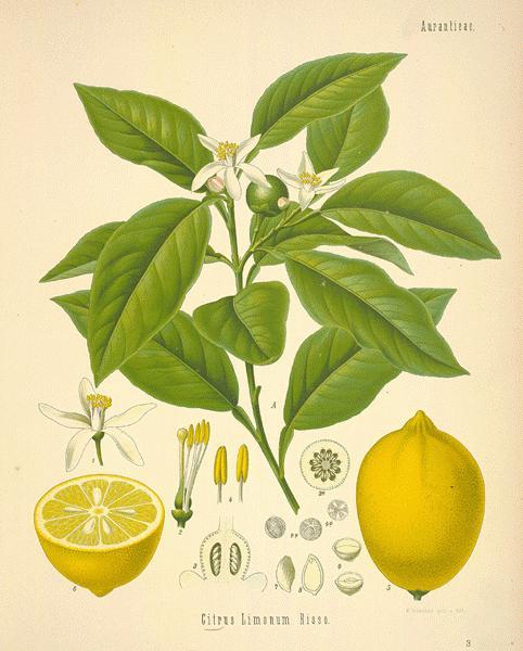 Usos medicinales del limonero