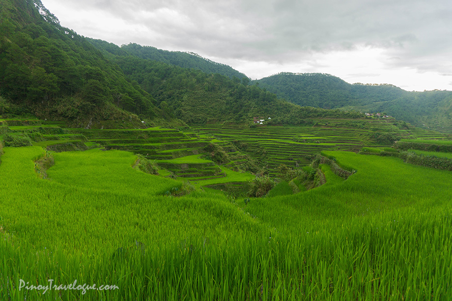 Maligcong's terraced rice fields, up close