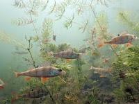 Mengenal Biota di Perairan Tawar Yang Tercemar
