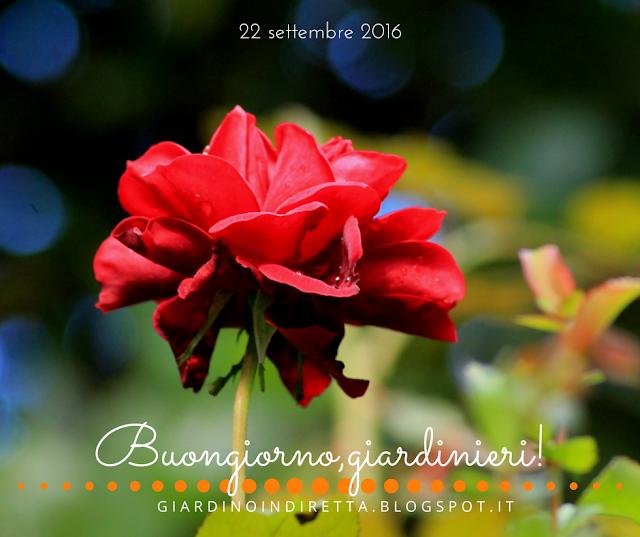 rosa rossa sconosciuta  - l'agenda del giardino e del giardiniere - un giardino in diretta