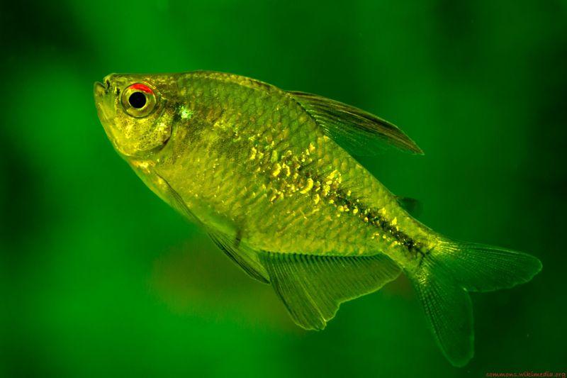 Gambar, Foto Diamond Tetra Jenis Ikan Hias Tawar Yang Berwarna Hijau