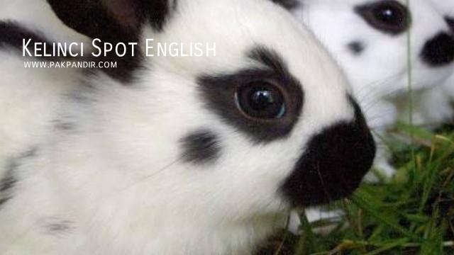 Kelinci Spot English   Pengepul Klinci Pedaging Jual Kelinci Pedaging Klinci Potong