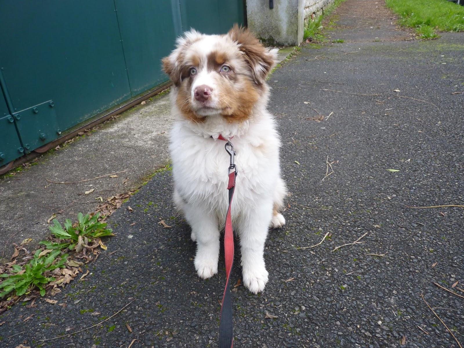 Luffy, bébé berger australien