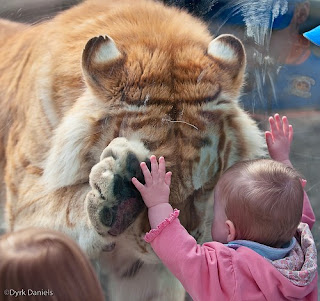 Bebe recostado de un vidrio tocando un tigre.