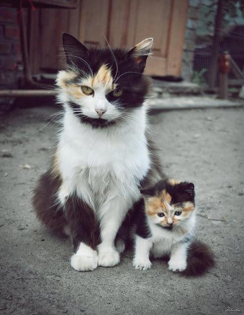 """Tan chảy với những """"bản sao"""" mèo con xoắn xít bên bố mẹ không rời"""