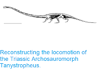 https://sciencythoughts.blogspot.com/2018/03/reconstructing-locomotion-of-triassic.html