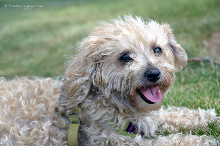 Ruby, the rescued senior Yorkie-Poo enjoys the summer adopt don't shop