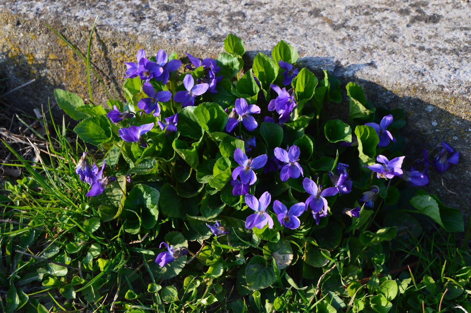 3b8aae849 Privítali nás rozkvitnuté podbele, narcisy, tulipány a aj táto fialová  nádhera. Máme jej plnú záhradu a ja som mohla na nej oči nechať.