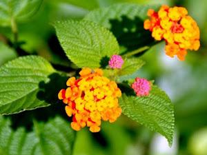 Yuk!!! Budidaya Flora Lantana, Memperhias & Memperindah Rumah