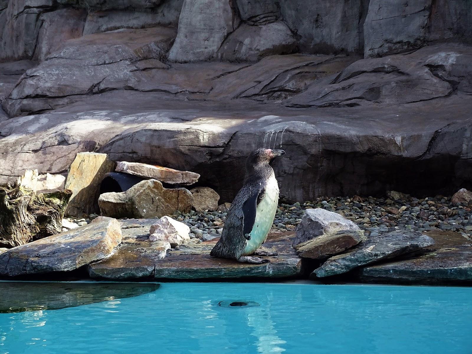 pingwin w zoo