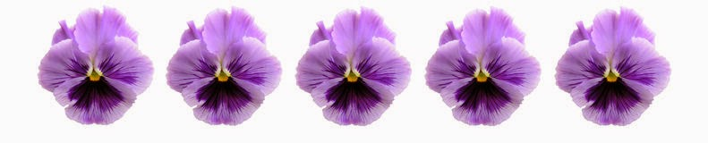 purple pansy blooms line bar image