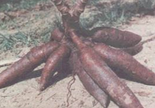Singkong adalah Umbi Utama Makanan Pokok Pasca Era Penjajahan