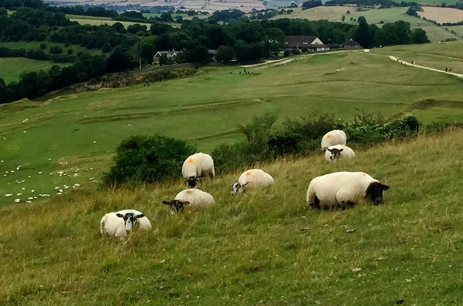 Sheep on cleeve hill in gloucestershire
