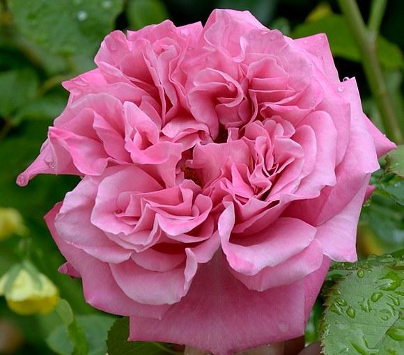 Agnes Schilliger сорт розы фото Минск саженцы купить
