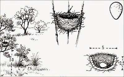 nidos de tyrannidae