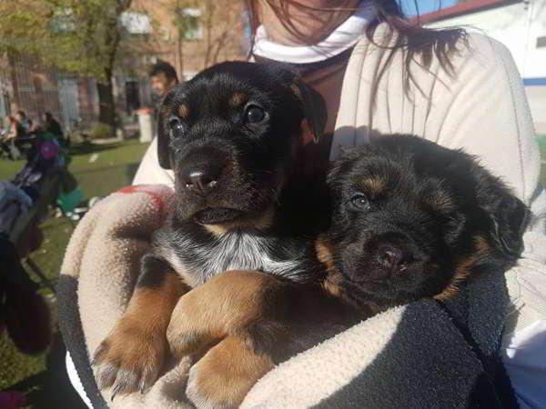 cachorros cruce rottweiler