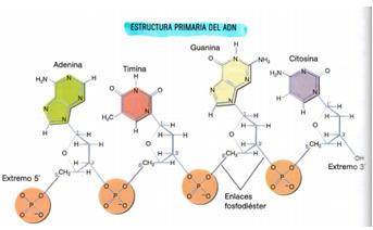 Pau I E S José Caballero Tipos De ácidos Nucleicos
