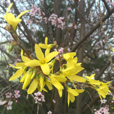 Forsythia at Steins at Sunset Florist