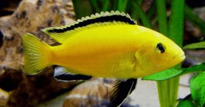 Ikan Perusak Aquascape - Ikan Lemon