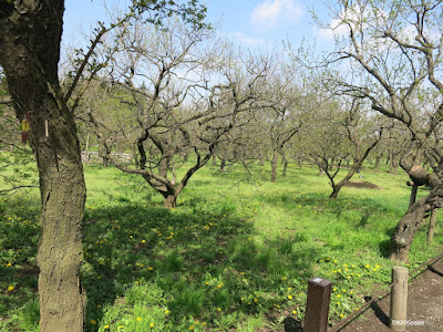 Field of Japanese plums, Mito