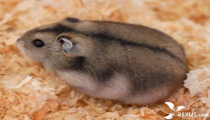 10 Tips Cara Merawat Hamster Yang Baik dan Benar Agar Sehat