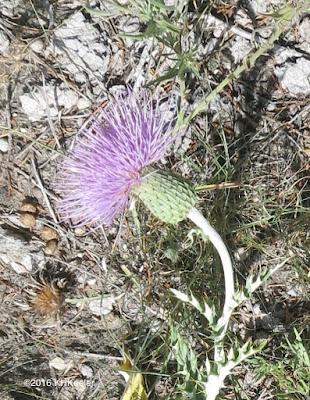 Cirsium undulatum, wavyleaf thistle