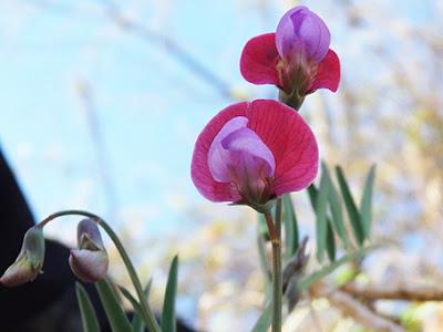 Flores color carmín y morado del chícharo morado (Lathyrus clymenum)