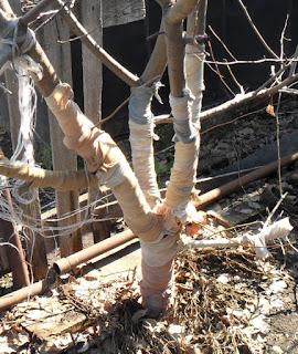 Яблони защищаю на зиму от мышей старыми капроновыми чулками