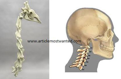 Skeleton and bones human body part series article most wanted giraffe and humans neck bones ccuart Gallery