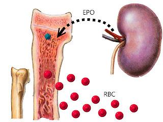 小醫生,腎衰貓: 慢性腎衰竭 與 貧血