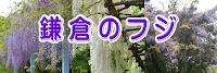 鎌倉のフジ