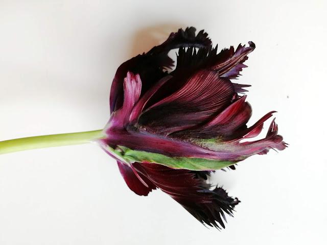 Black Parrot tulip, flower, botanical