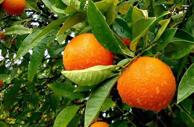 Eurostat: Το ελληνικό πορτοκάλι δεύτερο σε εξαγωγές παγκοσμίως